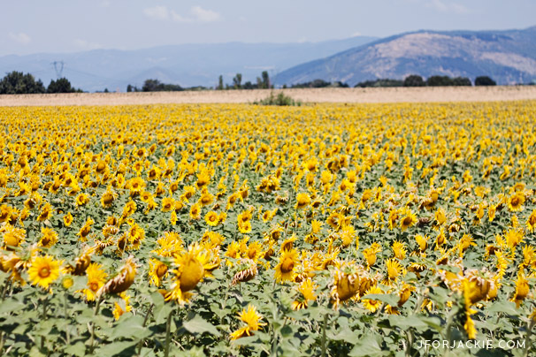 14 July 2013 - Sunflower fields